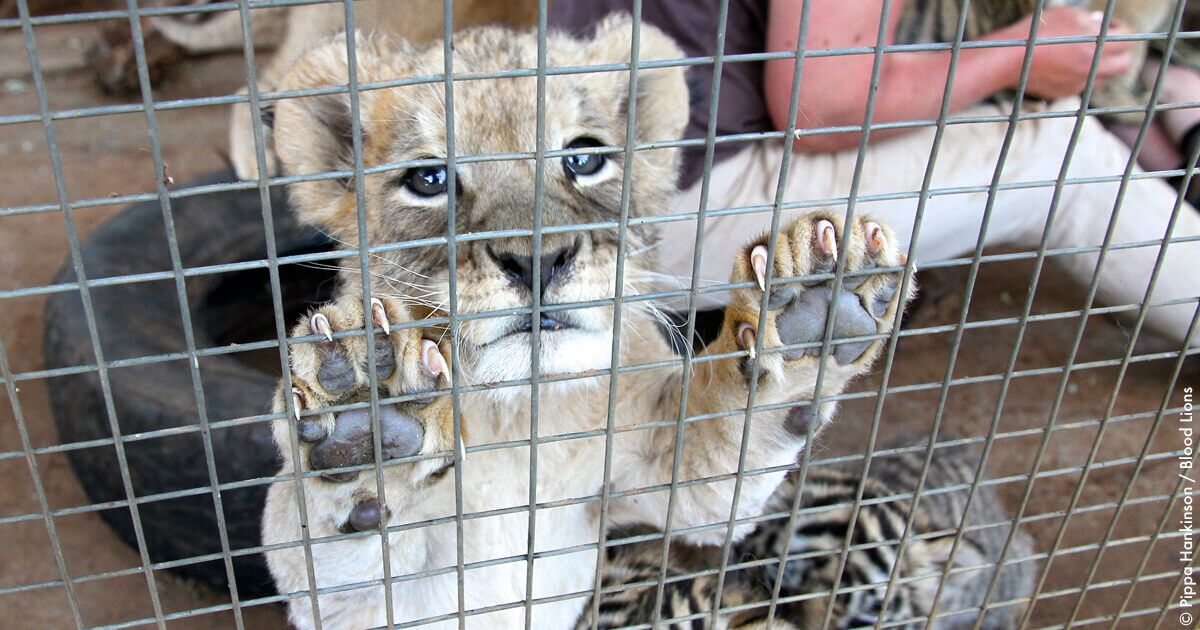 Lion cub behind bars.